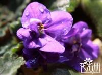 紫罗兰花有毒吗,紫罗兰可以放室内吗