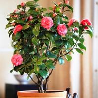 茶花盆栽图片