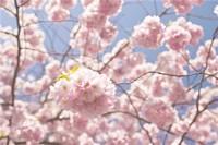 樱花怎么施肥