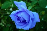 蓝色妖姬代表什么