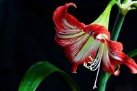 鹤顶红花图片欣赏,鹤顶红花能在室