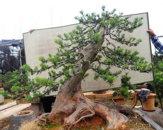悬崖式九里香盆景图片