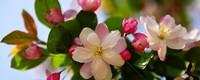 海棠花上有很多小黑虫怎么办