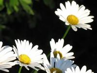 雏菊花怎么养,盆栽小雏菊怎么养(它们