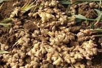 生姜什么时候种植,春季时播种产量高