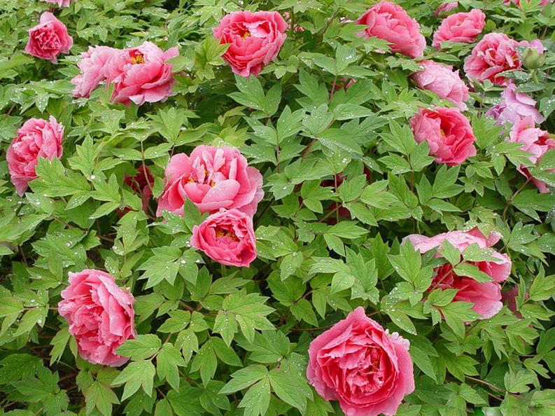 牡丹花病虫防治方法 助你轻松养殖牡丹花