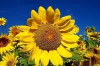 向日葵传播种子的方法