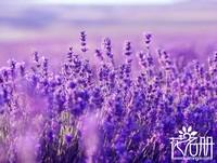 薰衣草什么时候开花 薰衣草花期一般为6至8月