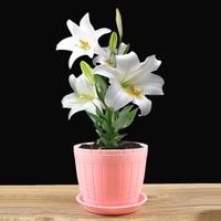 盆栽百合花图片