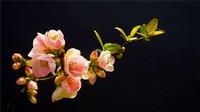 海棠花的花语是什么