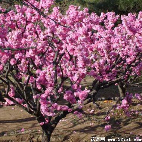 榆叶梅的日常管理和养护