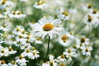 如何种雏菊,需使用酸性土壤进行培育