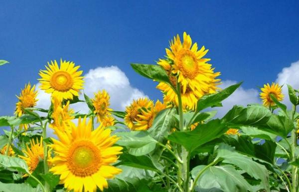 向日葵什么时候开花,向日葵花期一般在7-8月(花期不长)