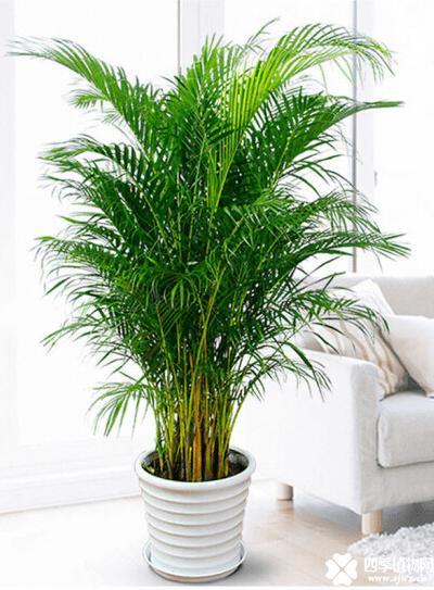 散尾葵适合放在客厅吗?散尾葵不仅适合放在客厅而且还有很多好处哦!