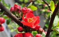 海棠花开花后怎么办,及时修剪注意浇水与施肥