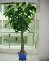 发财树树干变软怎么办,发财树树干变软的原因