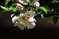 橄榄花的花语及传说,花语为和平与希望