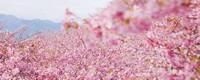 樱花的寓意