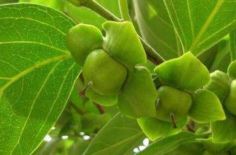 柿子叶的功效与作用,柿子叶凡士林用了3个月