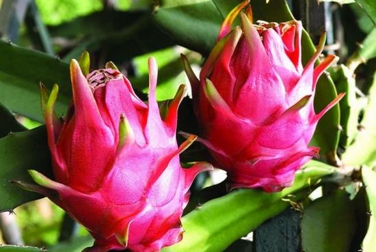 火龙果的种植方法:喜温暖潮湿,光照充