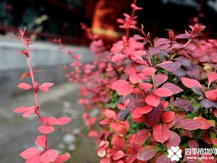 紫叶小檗怎么读?紫叶小檗你知道该怎么读吗?
