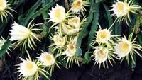 龙骨花开花的图片