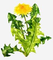 菊花叶子图片