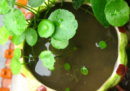 铜钱草如何水培:最佳方式是半水半土