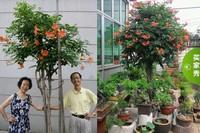 凌霄花盆栽图片欣赏