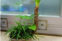 海芋适合室内养吗,适合/增加空气湿