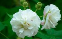 芙蓉花的花语是什么,芙蓉花的寓意、