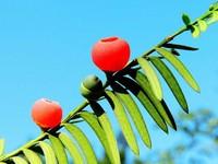 红豆杉的功效与作用,有八大功效全身