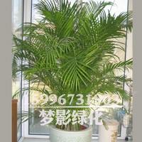 日本凤尾竹的图片大全
