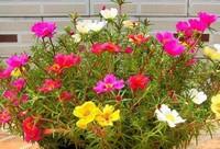 太阳花的种植方法和注意事项