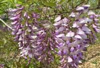 紫藤根的功效与作用及药用价值