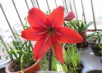 红色百合花盆栽图片