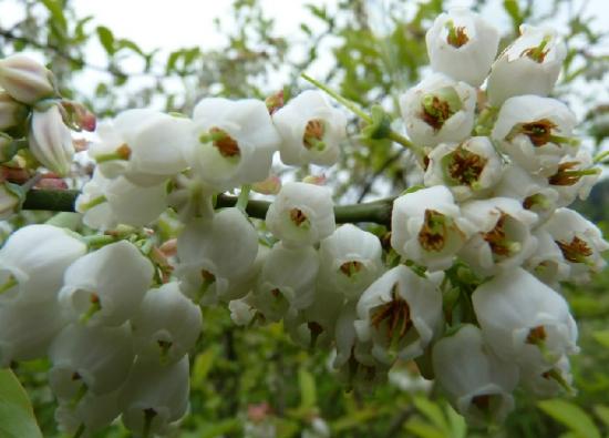 盆栽蓝莓种植:阳台应选择高矮合适的