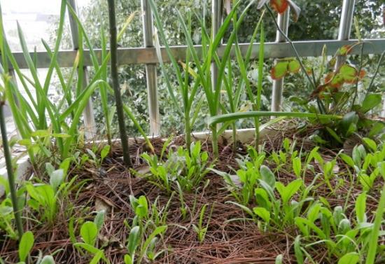 如何在窗台上种植蔬菜:手把手教你在