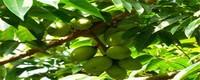 橄榄枝的花语,橄榄枝代表的意义