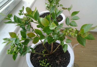 蓝莓种子怎么种,4个步骤种植出美味