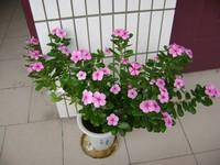 长春花种子图片