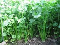 适合阳台种植的8种蔬菜:总有一款适