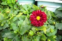 小丽花怎么繁殖,小丽花的繁殖方法(播种/分株/分球)