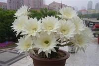 仙人球开花有毒吗,花朵没毒/仙人球的刺有微毒