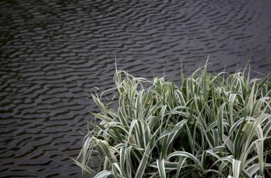 玉带草别名是什么:丝带草、五色带等