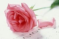心形图片玫瑰花粉色