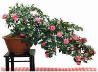 山茶花盆栽图片