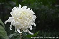 菊花图片祭奠