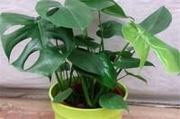 龟背竹种植注意事项,提供疏松土壤并