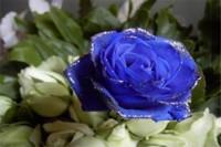 蓝玫瑰代表什么意思,忧伤的爱情与知